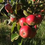 photo of red apples growing on tree
