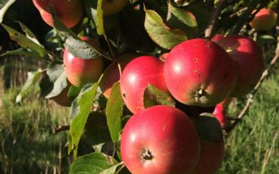 Apples and the Story of the Spekes Express