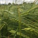 spring barley in the rain