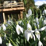 Close up photo snowdrops